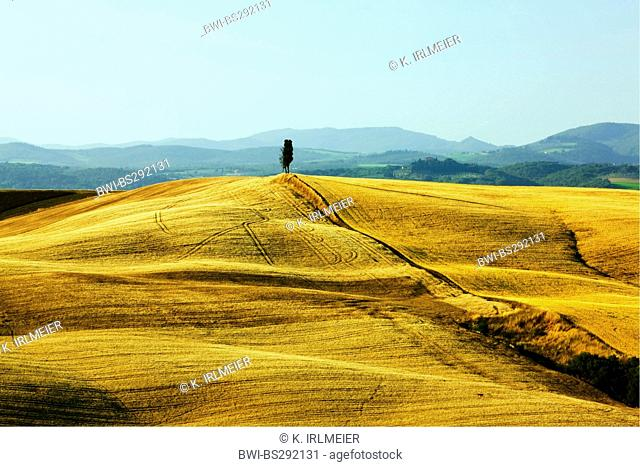 Italian cypress (Cupressus sempervirens), Cornfields and Cyress, Italy, Tuscany, Asciano