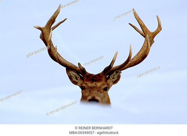 Red deer in the snow, cervus elaphus, portrait