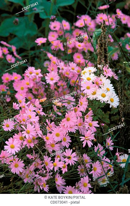 Flowers (Aster sp.)