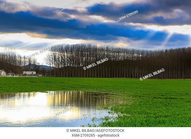 Poplar grove and grassland near Ega river. Murieta, Navarre. Spain, Europe