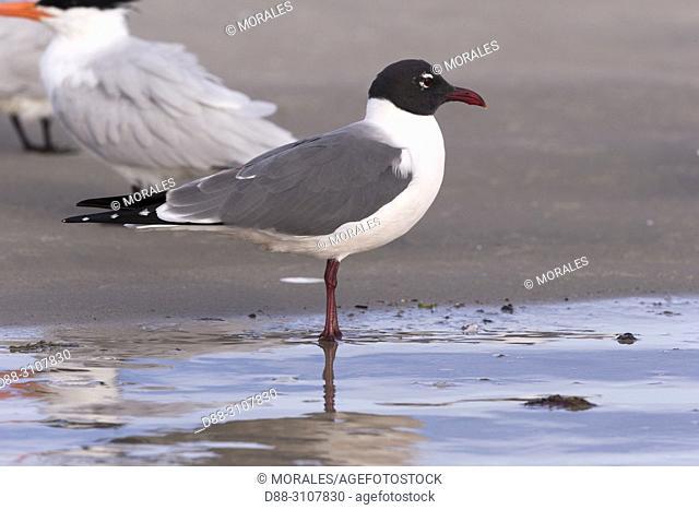 Central America, Mexico, Baja California Sur, Puerto San Carlos, Magdalena Bay (Madelaine Bay), Franklin's Gull (Leucophaeus pipixcan)