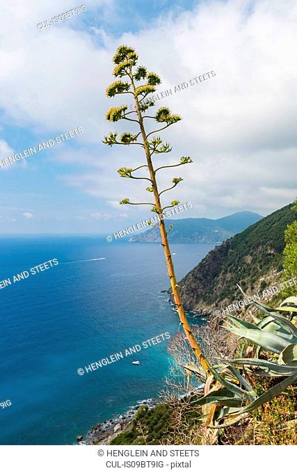 Tall agave blossoming on coastline, Vernazza, Liguria, Italy