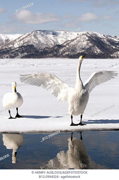 Whooper swan (Cygnus cygnus) couple, Japan