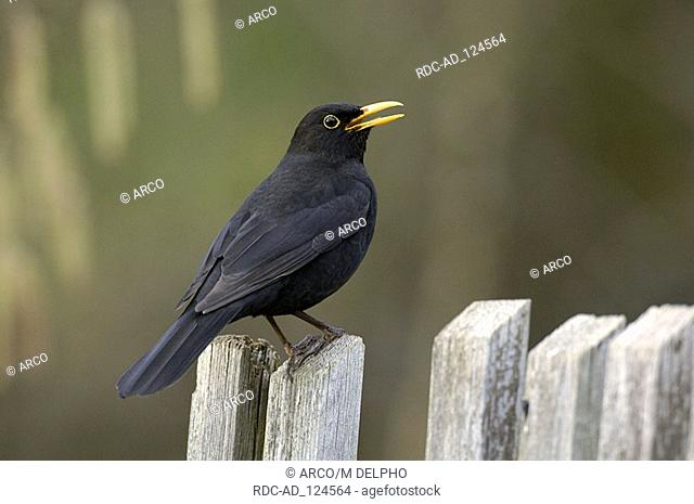 Blackbird on garden fence male Hessen Germany Turdus merula