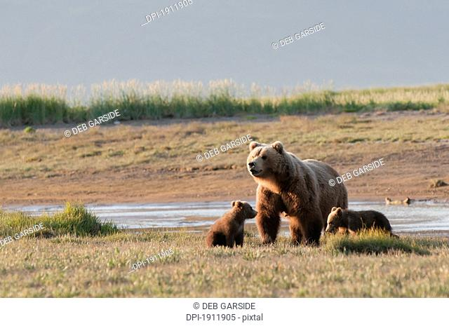 a grizzly bear ursus arctos horribilis with two cubs crossing the river, alaska, united states of america