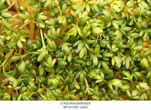 Garden Cress or Pepper Grass (Lepidium sativum)