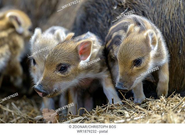 young wild boar, Sus scrofa