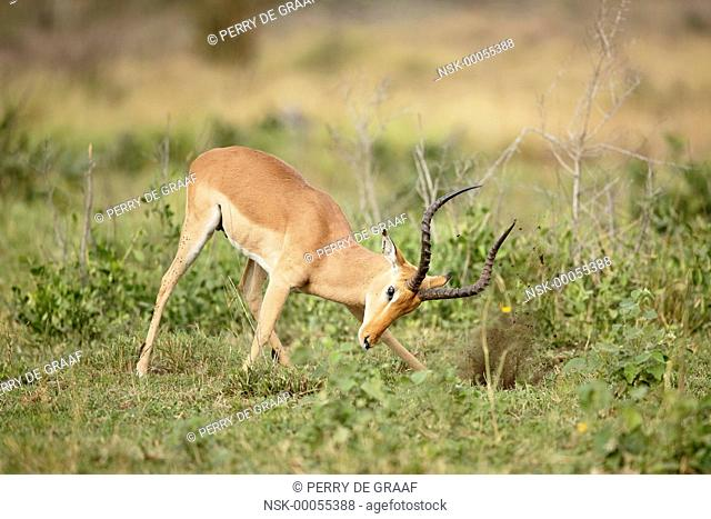 Impala (Aepyceros melampus) male, advertising aggressive mood with vegetation horning, South Africa, Mpumalanga, Kruger National Park
