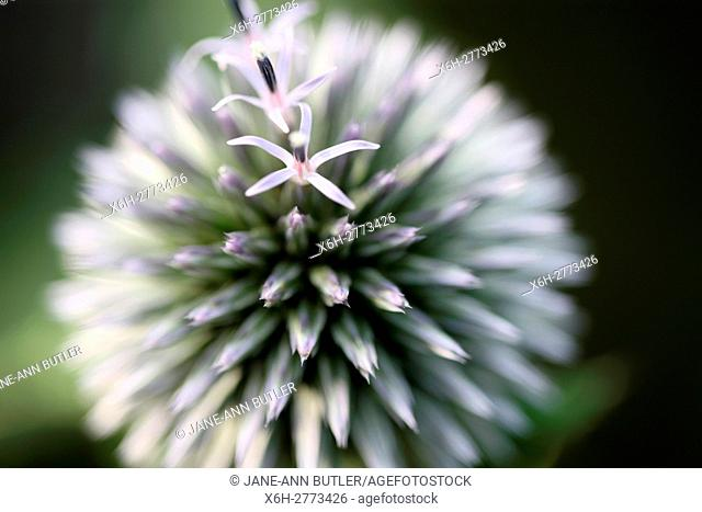 echinops ritro globe thistle, globe flower - language of flowers ''nobility of character''