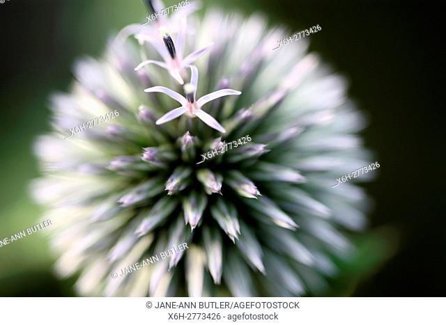 echinops ritro globe thistle, globe flower - language of flowers ''nobility of character''