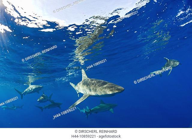 Galapagos Sharks, Carcharhinus galapagensis, Hawai
