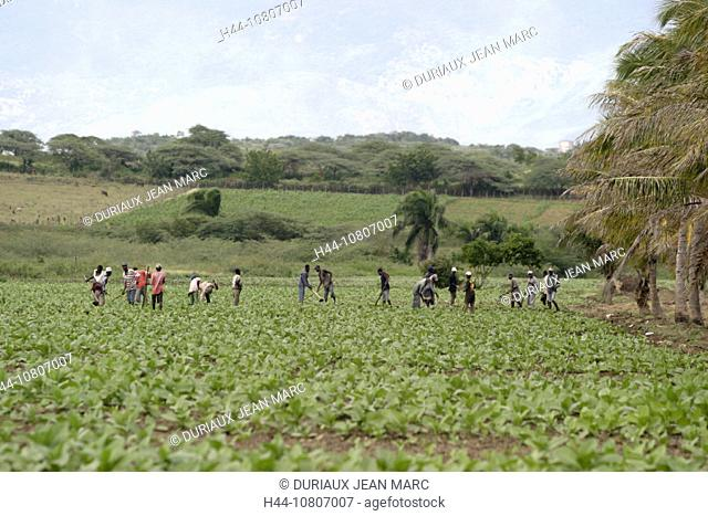 agriculture, Cibao, cigars, cultivation, field, fields, outhouse, plantation, Caribbean, Dominican Republic, tobacco