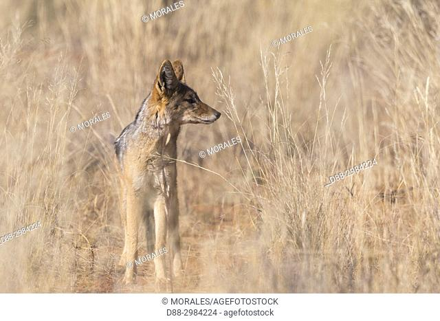Africa, Southern Africa, South African Republic, Kalahari Desert, . Black-backed jackal (Canis mesomelas), adult