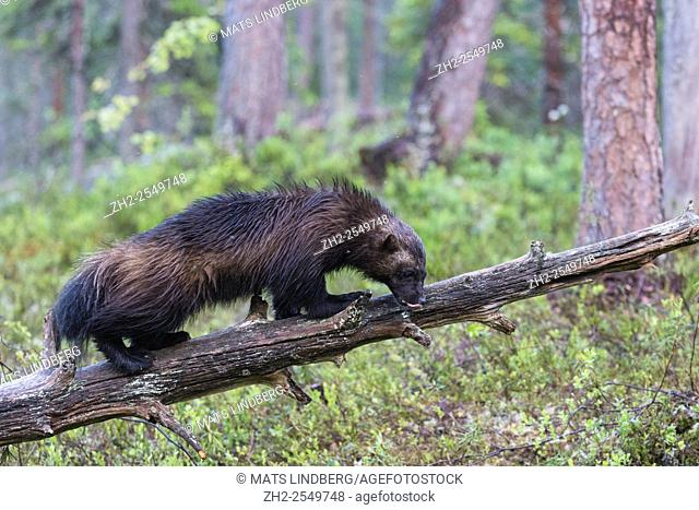 Wolverine, Gulo gulo, walking on an old tree trunk licking his nose, Kuhmo, Finland