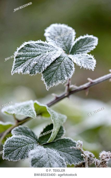 shrubby blackberry (Rubus fruticosus), leaves with hoar frost, Germany