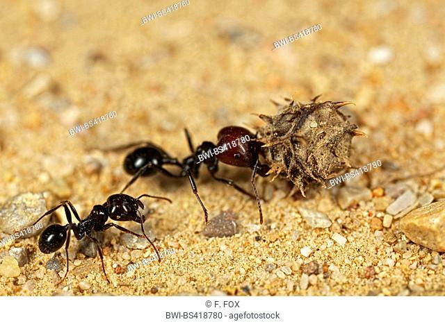 Ant Carrying Fruit Stock Photos And Images Agefotostock