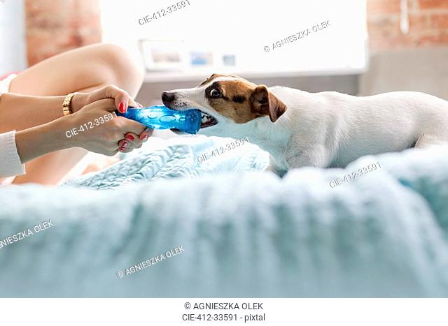 Woman and Jack Russell Terrier dog playing with toy on bed