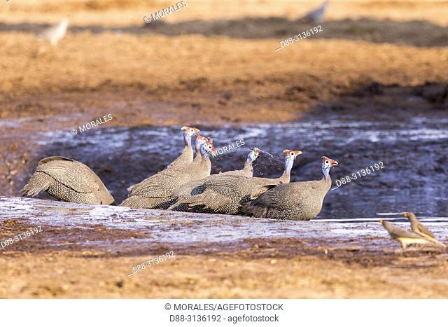 Africa, Southern Africa, Bostwana, Moremi National Park, Helmeted guineafowl (Numida meleagris), group drinking