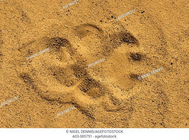 Lion (Panthera leo), paw print in sand. Kgalagadi Transfrontier Park. Kalahari, South Africa