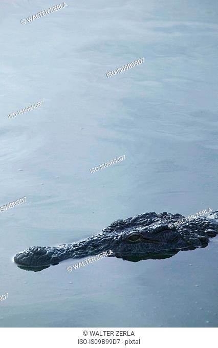 Head of crocodile in wildlife park lagoon, Djerba, Tunisia