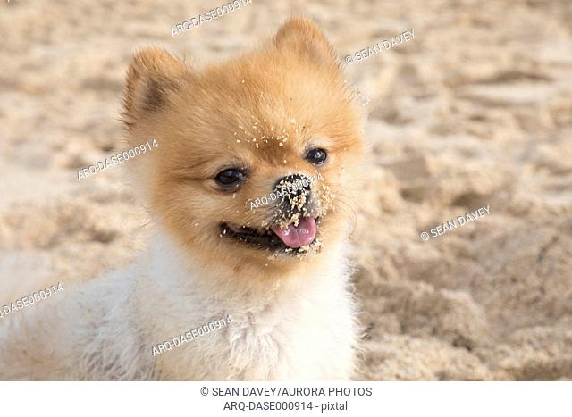 Headshot Pomeranian dog with sand on nose at beach, Turtle Bay, Oahu, Hawaii, USA