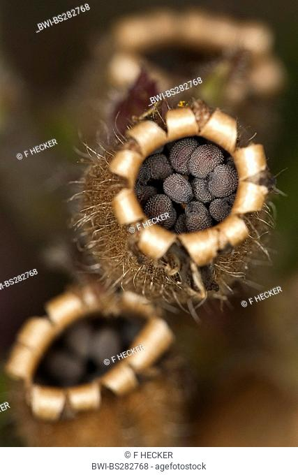 red campion Silene dioica, seeds in a vessel, Germany