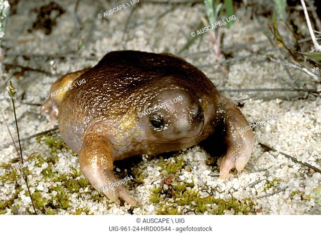 Turtle frog, Myobatrachus gouldii, Australia's only frog food specialist: eats almost only termites, When burrowing, digs forward unlike most frogs