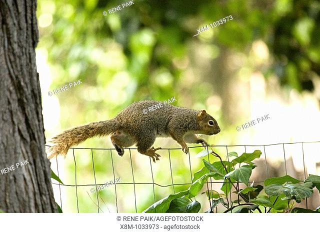Female fox tree squirrel (Sciurus niger, fam. Sciuridae) easily navigates the precariously thin line of a chicken wire fence