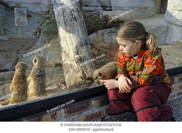 little girl watching meerkat or suricate (Suricata suricatta) through glass screen, ZooParc de Beauval, Loir-et-Cher department, Centre-Val de Loire region