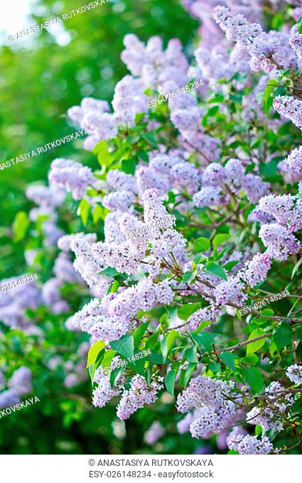 branch with spring lilac flowers, blooming bush