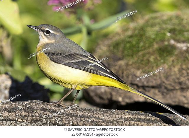 Grey Wagtail (Motacilla cinerea), first winter plumage standing on a dead branch