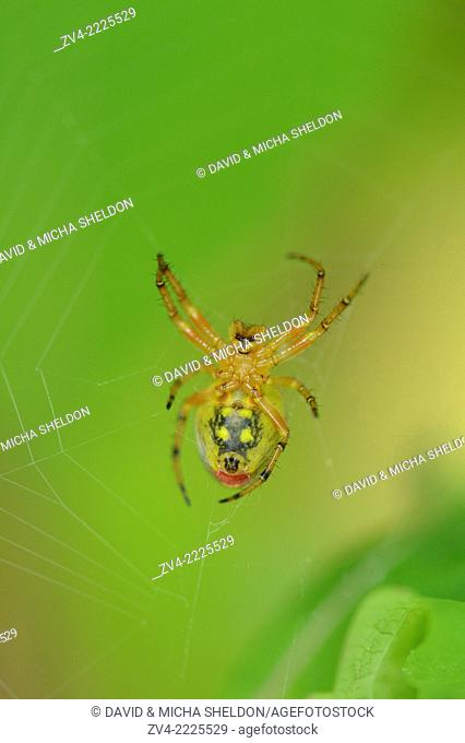 Close-up of a spider (Arachnida) in a forest in early summer