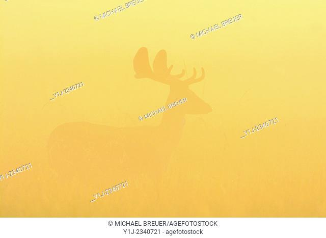 Fallow Deer (Cervus dama) on misty morning at sunrise, Hesse, Germany, Europe