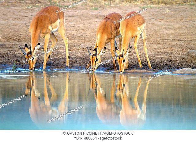 Impalas Aepyceros melampus, in the waterhole, Kruger National Park, South Africa