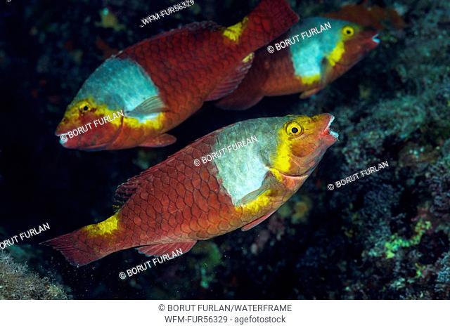 Female European Parrotfish, Sparisoma cretense, Vis Island, Adriatic Sea, Croatia
