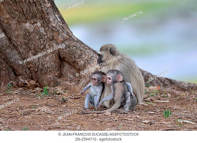 Vervet monkeys (Cercopithecus aethiops), two young males with their mother, sitting at the top of the riverbank, Kruger National Park, South Africa, Africa
