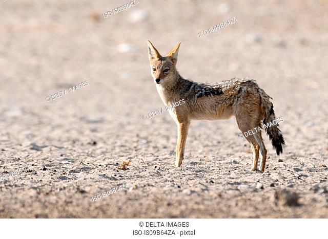 Portrait of Black-backed jackal (Canis mesomelas), Kalahari, Botswana Africa