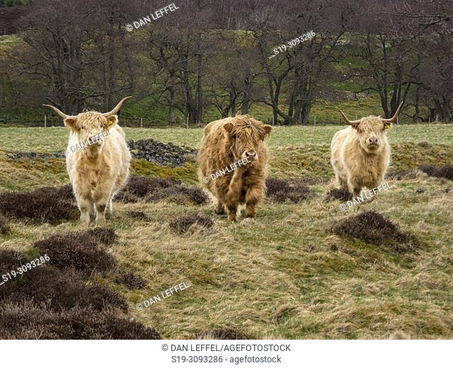 Scotland Cairngorms National Park Highland Cattle