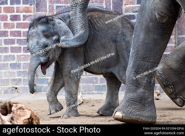 04 May 2020, Saxony, Leipzig: The four-month-old bull elephant Kiran at Leipzig Zoo walks through the enclosure at his mother's side. Since today (04