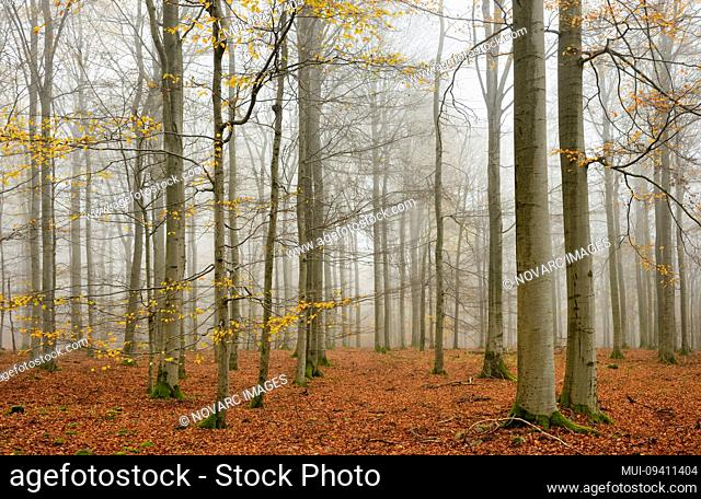beech forest, beech (fagus) with last yellow leaves in autumn, bare trees and fog, Nationalpark Kellerwald-Edersee, Hessen, Germany