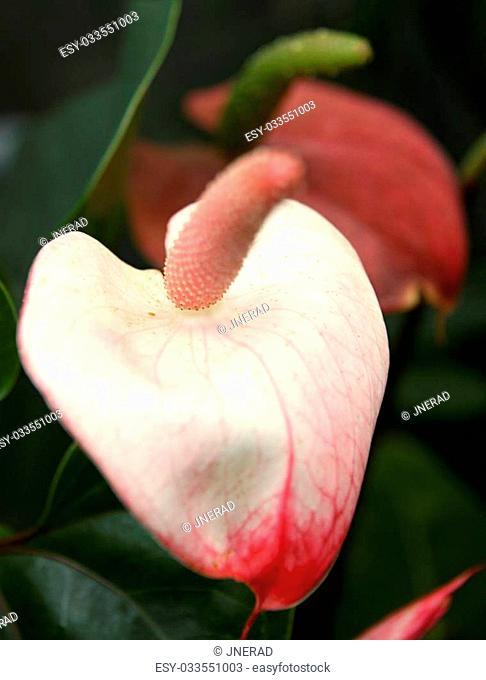 Rose Flamingo flower