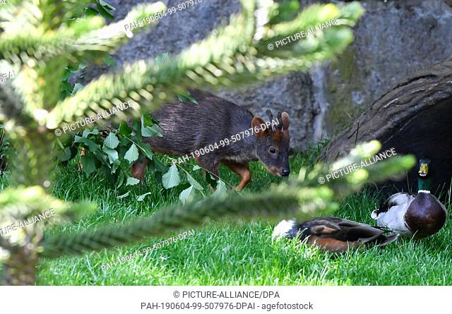 04 June 2019, Saxony-Anhalt, Halle (Saale): A southern pudu moves in search of food through its new enclosure in the zoo in Halle/Saale