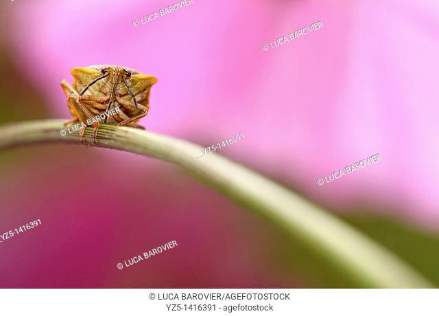 Bug Cimicidae with pink background
