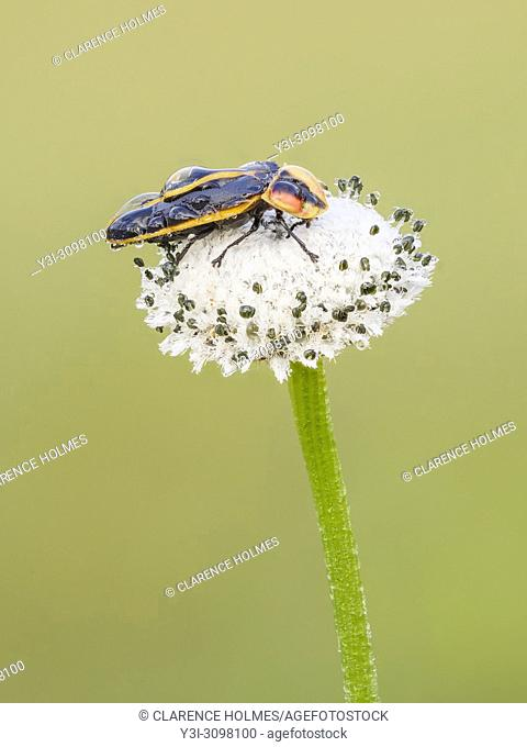 A dew covered firefly (Pyractomena ecostata) perches on a Pineland Bogbutton (Lachnocaulon dygynum) inflorescence in the early morning