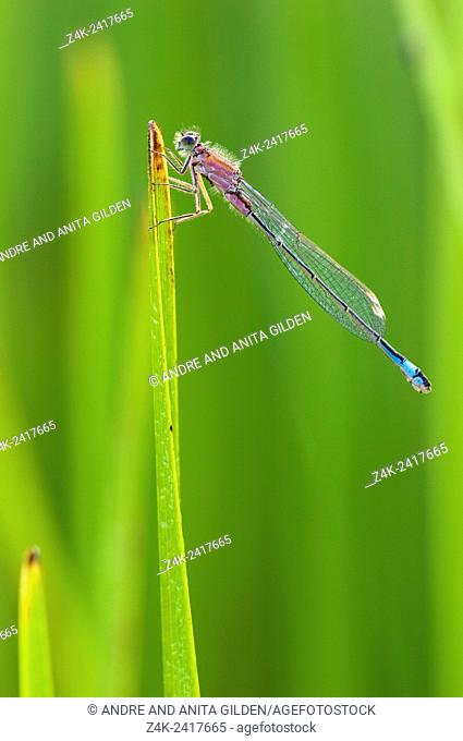 Blue-tailed Damselfly (Ischnura elegans) on blade of grass