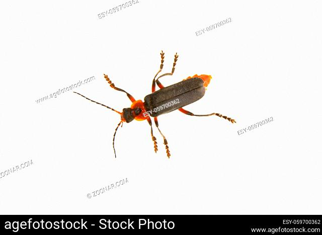 Soldier beetle (Cantharis fusca) isolated on a white background