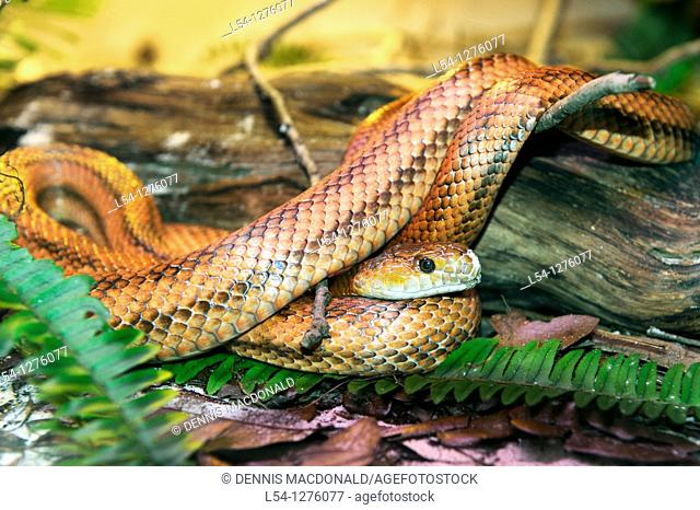 Lowry Park Zoo. St. Petersburg. Florida. Red or Everglades Rat Snake