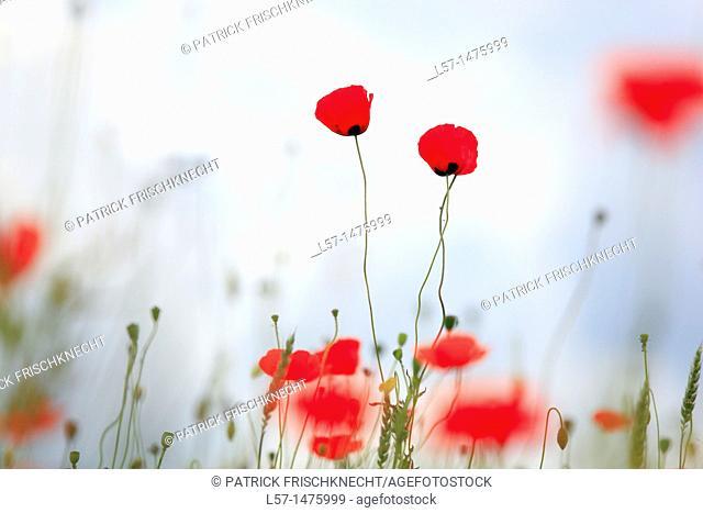 field poppy, Papaver rhoeas, Switzerland