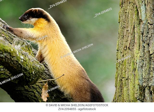 Close-up of a yellow-throated marten or kharza (Martes flavigula) on a tree
