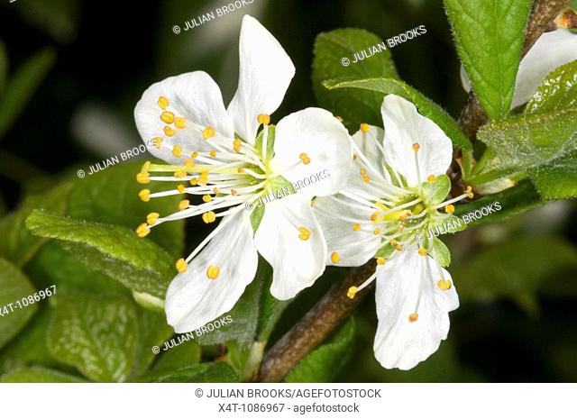 close up of damson Prunus domestica  blossom in the spring